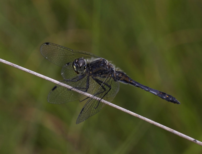 Zwarte heidelibel, man - Sympetrum danae, male