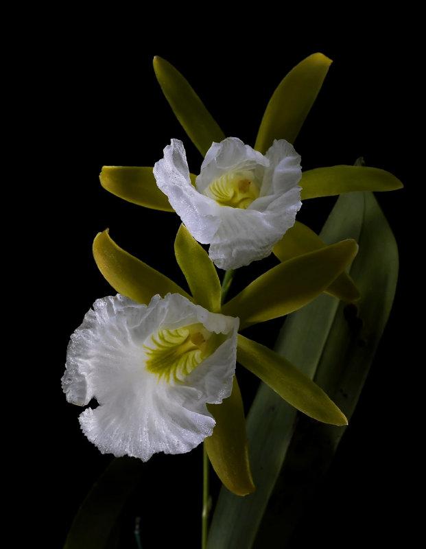 Euchile  mariae, flowers 8 cm