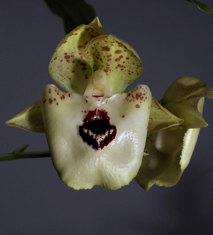 Catasetum expansum