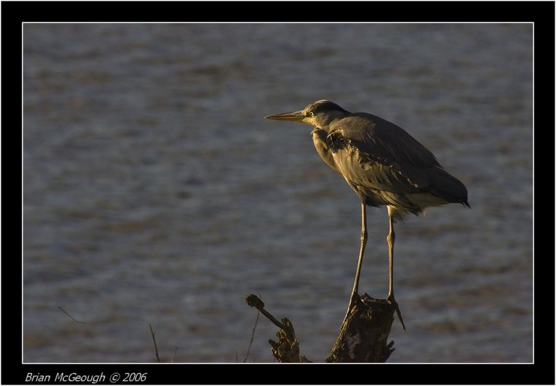 evening heron.jpg