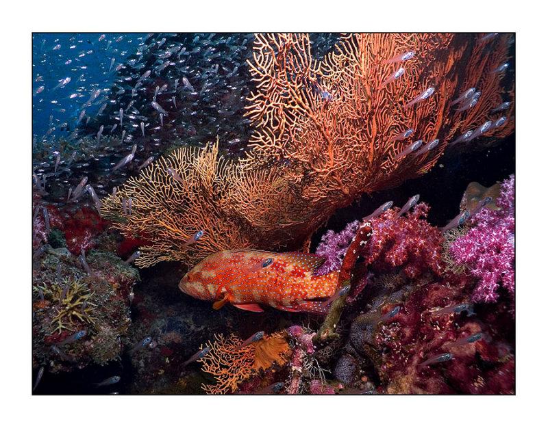 Similan coral mix