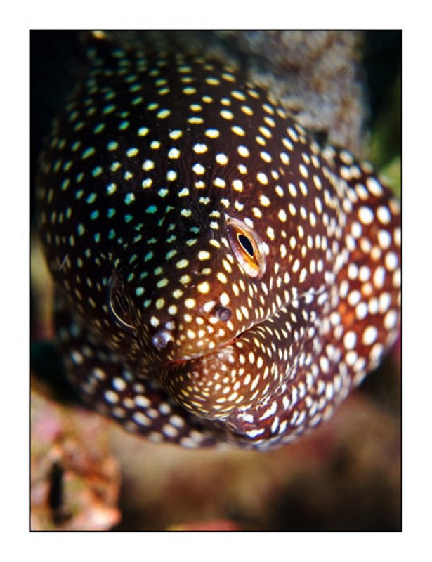 Dotted moray
