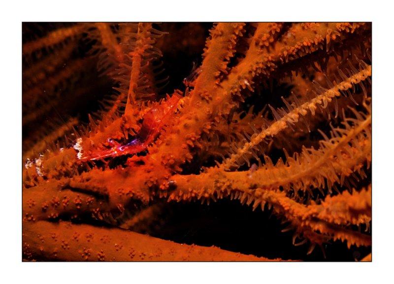 Red Hingebeak Shrimp