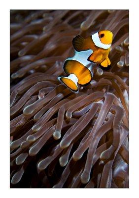 Percula Clownfish bis