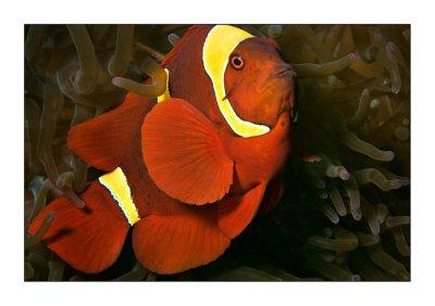 Spine cheek Clownfish