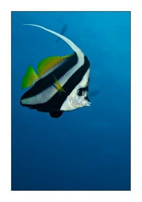 Schooling Banner Fish