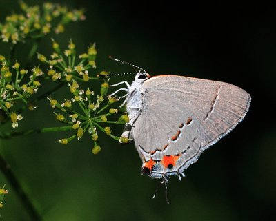 Grey Hairstreak.jpg