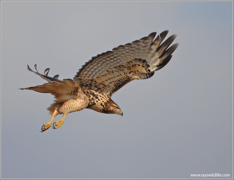 Red-tailed Hawk 28