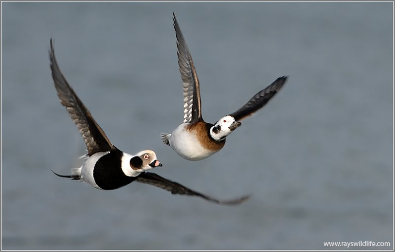 Long-tailed Ducks 18