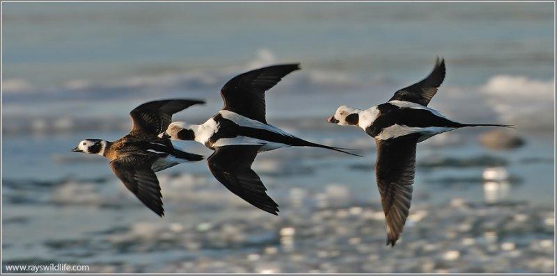 Long-tailed Ducks 7