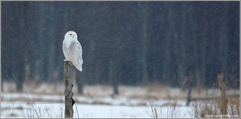 Snowy Owl on Amherst Island 16