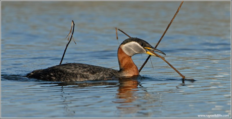 Red-necked Grebe 33