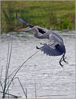 Great Blue Heron 41