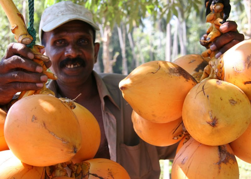 King Coconuts for sale