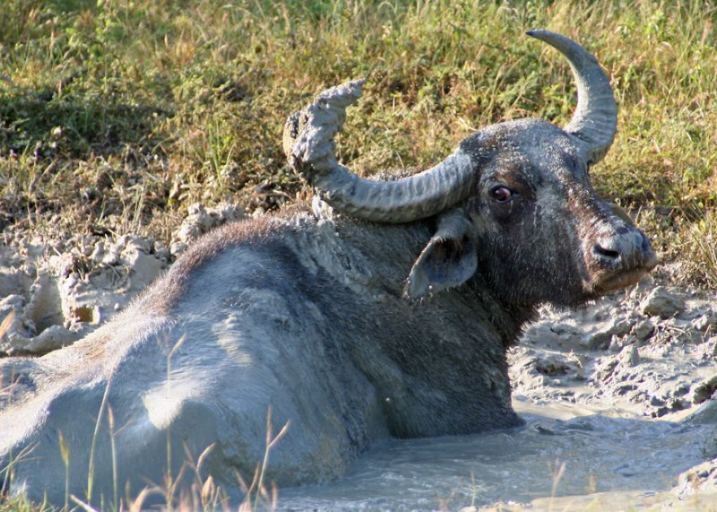 Buffalo paradise