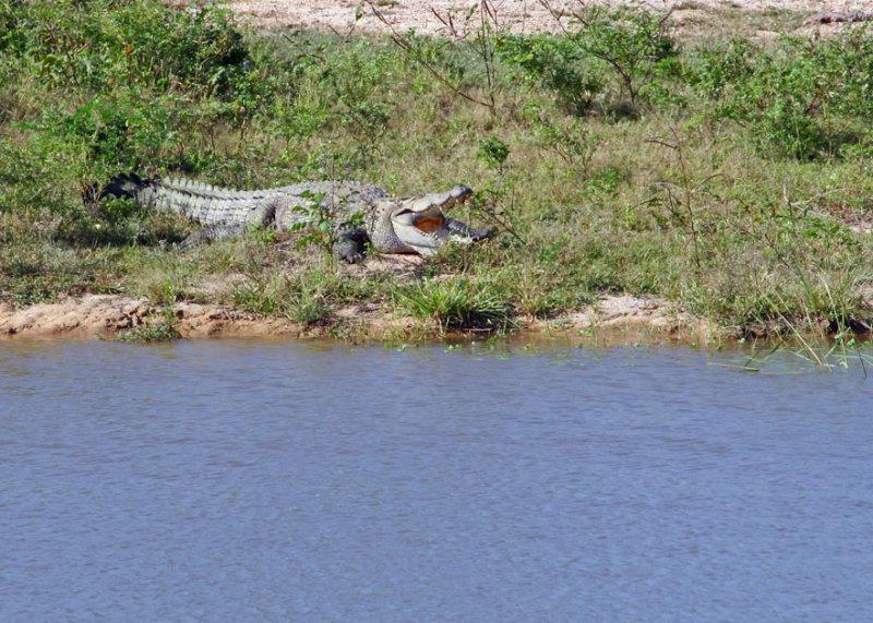 Crocodile awaiting breakfast