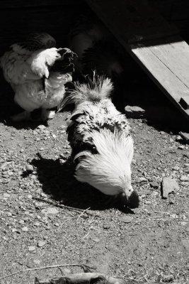Chickens, Upper Canada Village, Morrisburg, Ontario