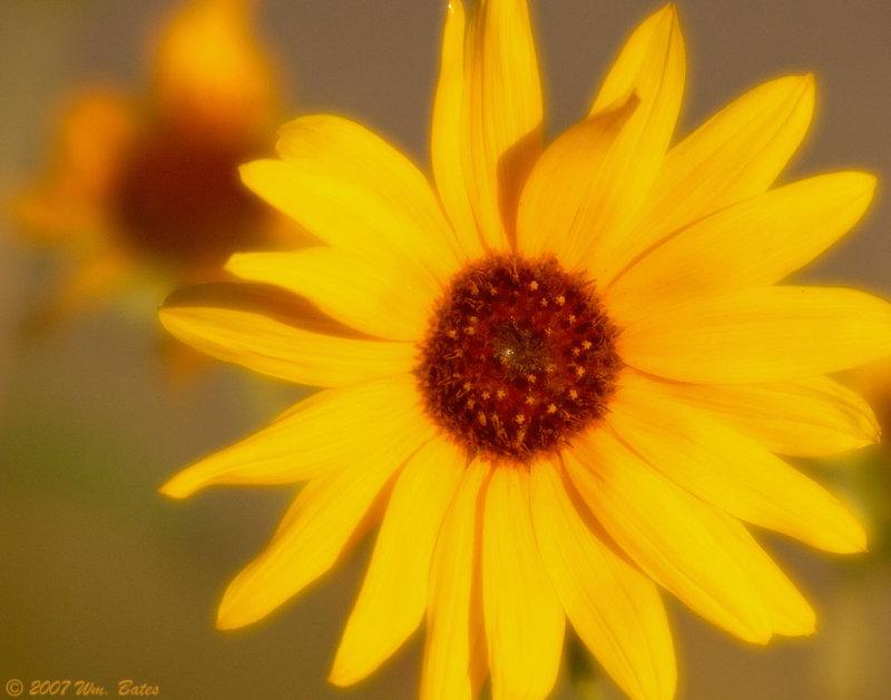 Sunflower 2 08_22_07.jpg