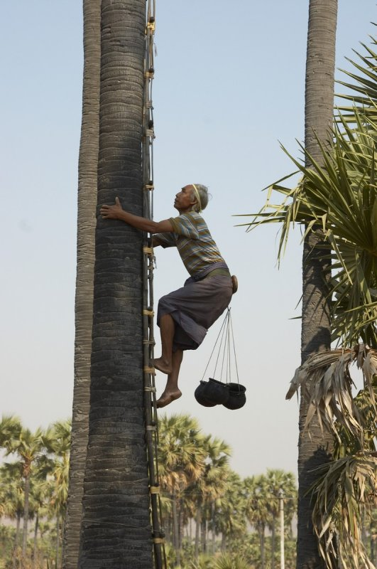 Farmer is gathering  palm tree juice