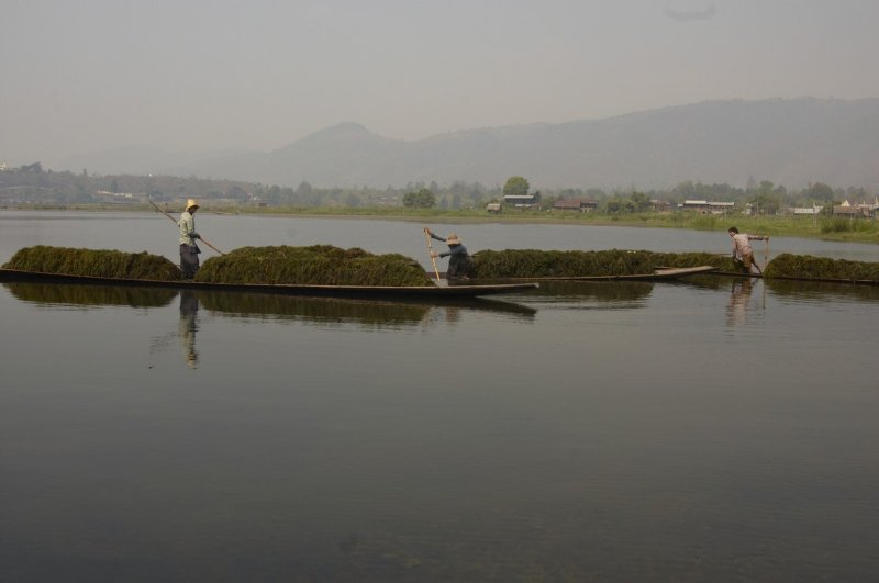 Farmers are gathering aquatic plants, Inle Lake