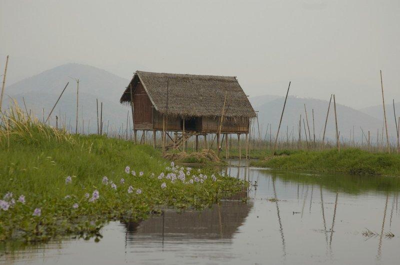 Floating gardens, Inle Lake, bamboo sticks hold gardens