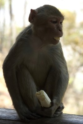 Monkey eats banana, Mount Popa