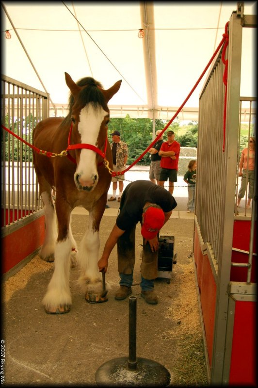 A Clydesdale is getting a pedicure