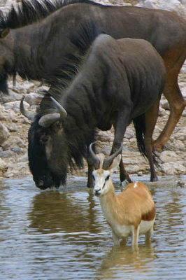 Wildebeest and Springbuck, Okakuejo waterhole Etosha National Park