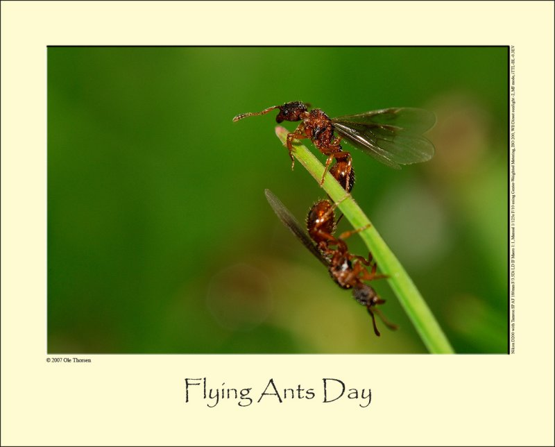 Flying Ant Day #2