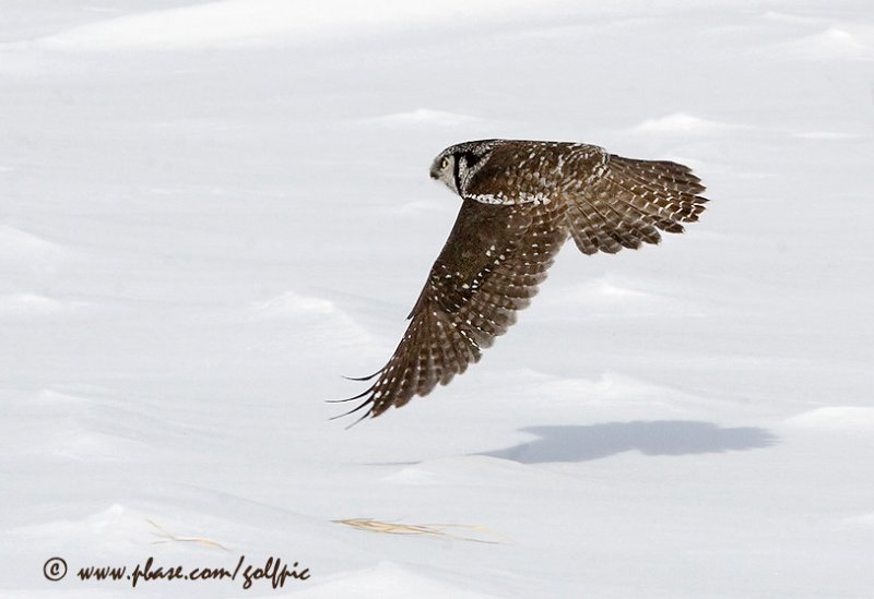 Northern Hawk Owl flys low and effortlessly over a snowy landscape