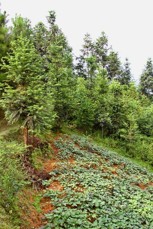 9942 Intercropping in the forest area.