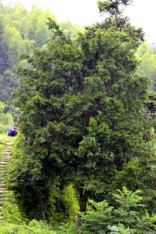 1199 Ancient sacred yew tree. Taxus wellichiana