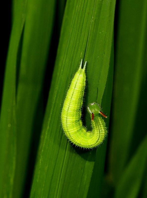 5364 Unidentified caterpillar on rice leaf.
