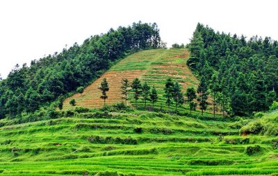 5207 Terracing rice paddies and Cunninghamia.