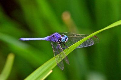 0950 Order: Odonata a blue dragonfly.