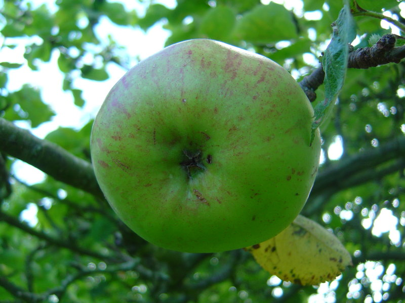 Apple Harvest 2007