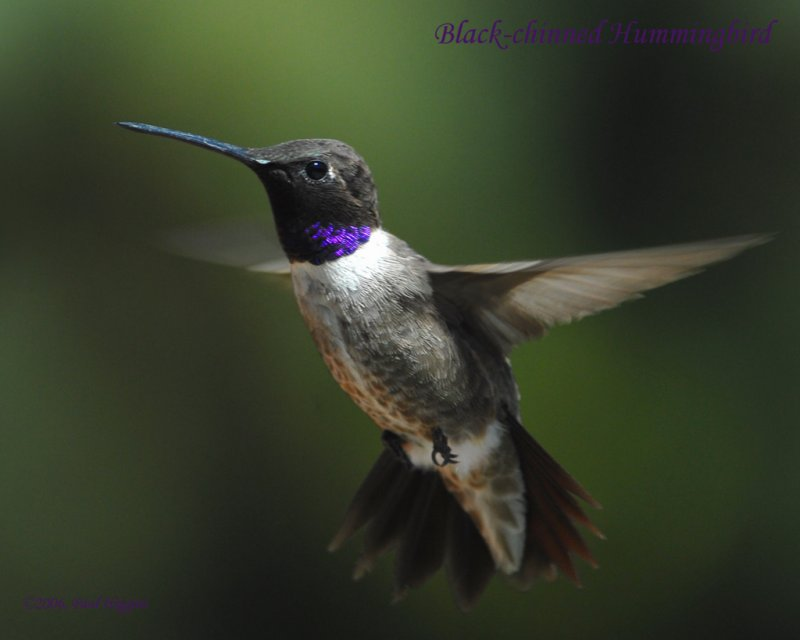 Hummingbirds, Black-chinned