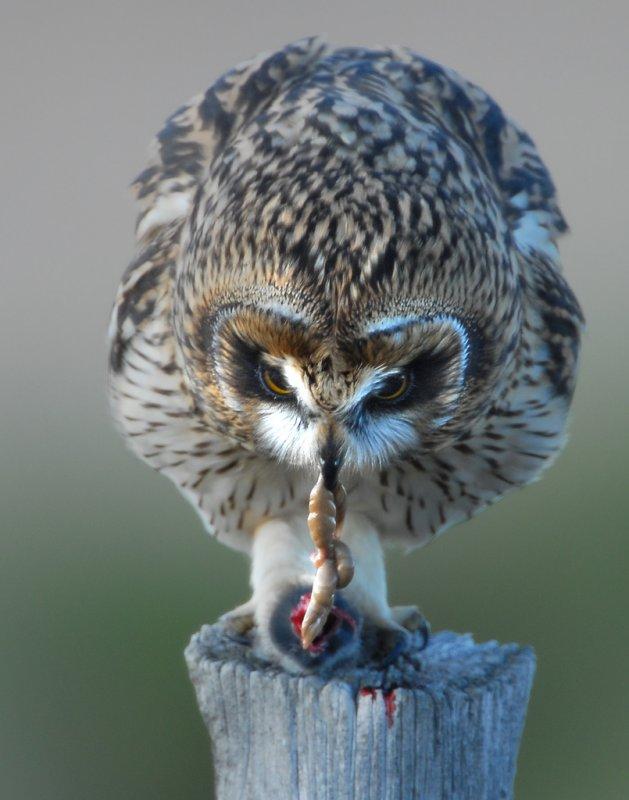 Owl Shot-eared D-053.jpg