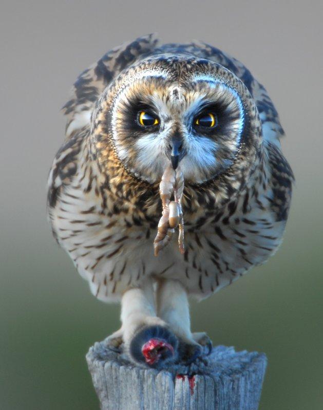 Owl Shot-eared D-054.jpg