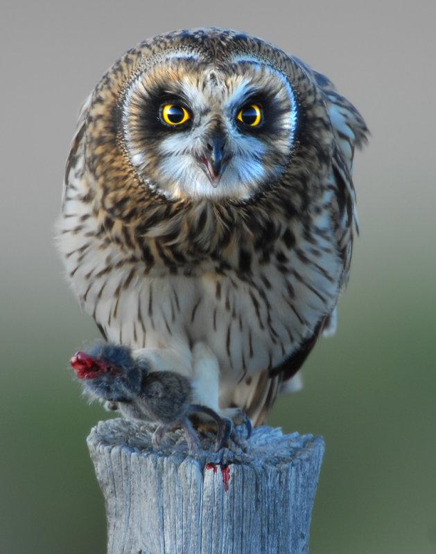 Owl Shot-eared D-056.jpg