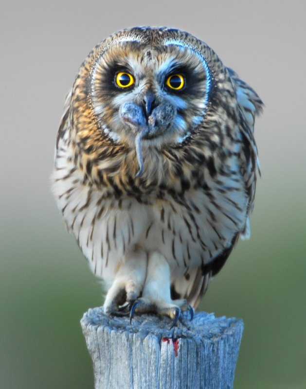 Owl Shot-eared D-057.jpg