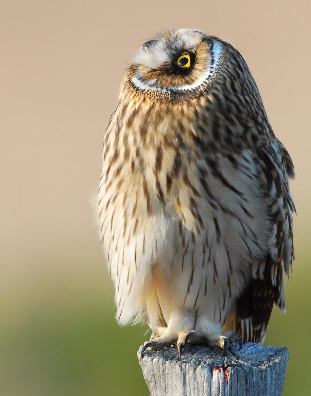 Owl Shot-eared D-060.jpg