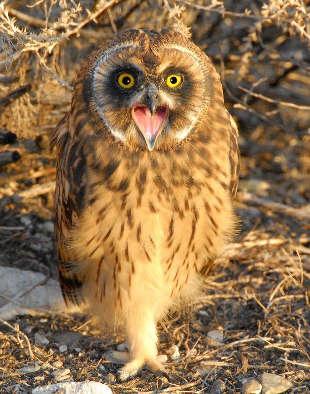 Owl Short-eared D-072.jpg