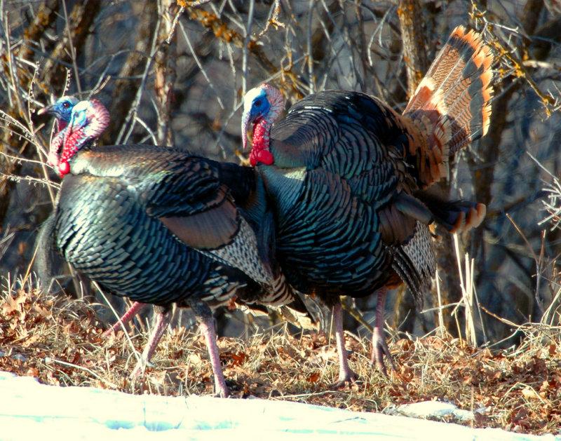 Turkey Merriams D-028.jpg