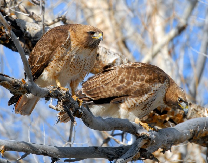 Hawk Red-tailed D-023.jpg