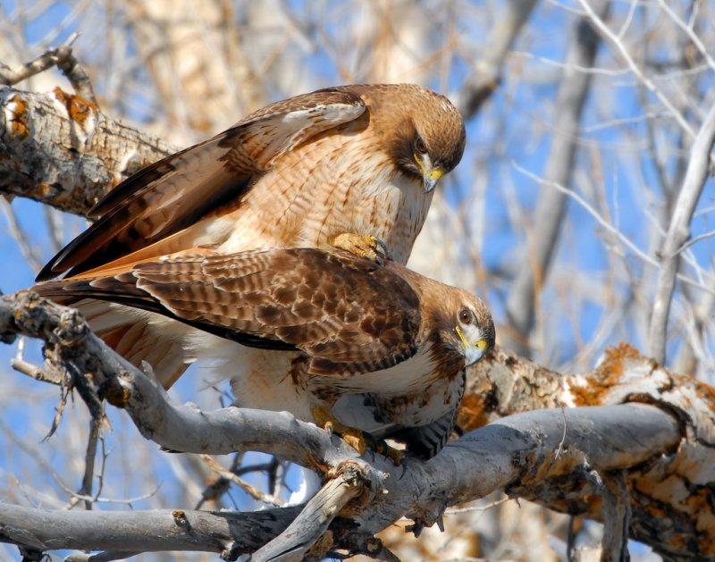 Hawk Red-tailed D-024.jpg