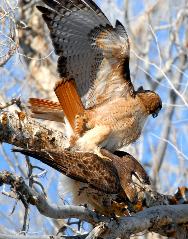 Hawk Red-tailed D-032.jpg
