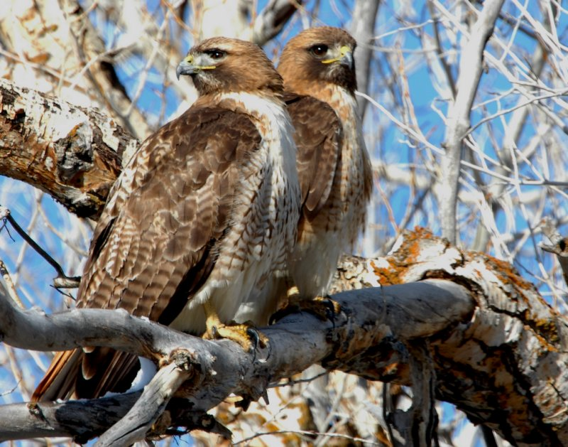 Hawk Red-tailed D-033.jpg