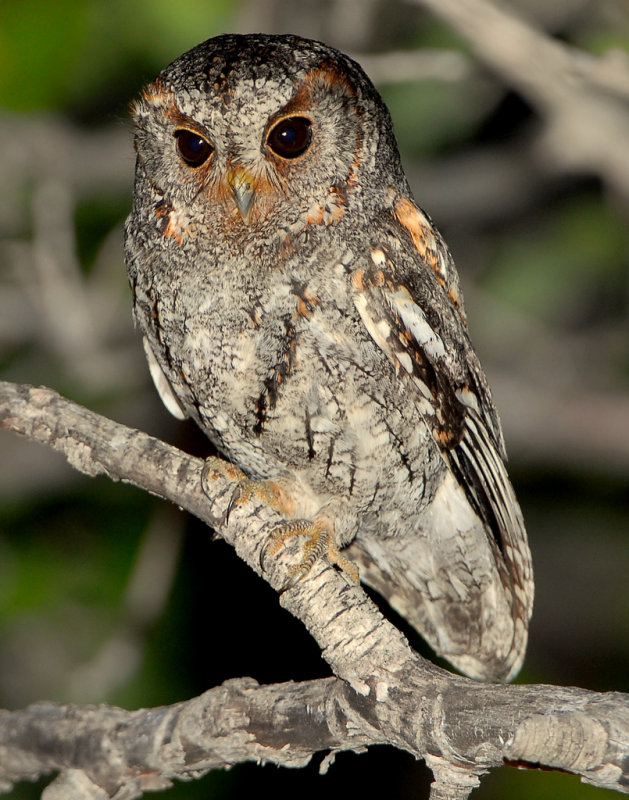 Owl, Flammulated