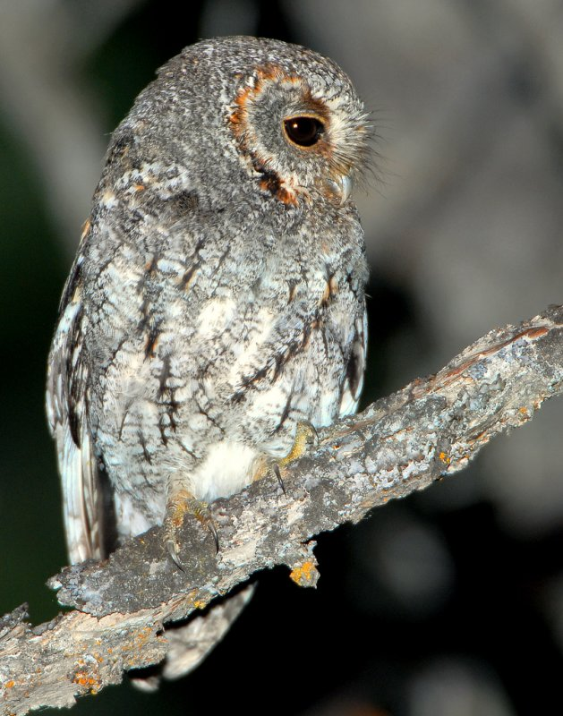Owl, Flammulated